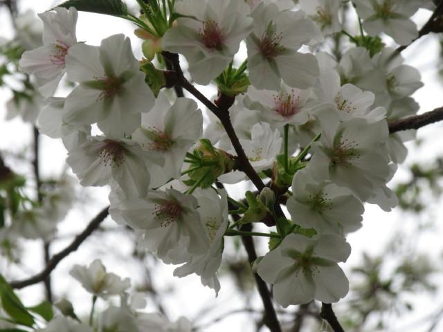 大島桜 花の一生