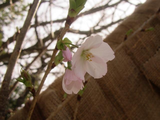 3月13日 油壺開花宣言!